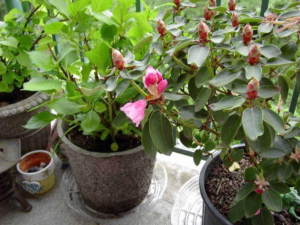 hoa-trong-ban-cong-hoa-do-quyen1